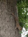 Écureuil accrochant sur un arbre photos stock