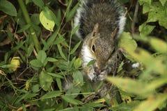 Écureuil affamé Images stock