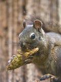 Écureuil affamé Image stock