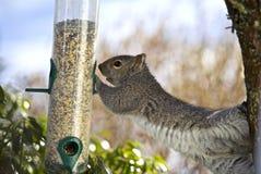 Écureuil affamé Photo libre de droits