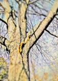 Écureuil affamé avec un écrou Images stock