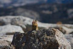 Écureuil alerte Image libre de droits
