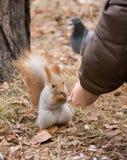 Écureuil alimentant Photographie stock