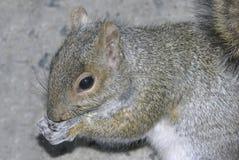 Écureuil alimentant Photos libres de droits