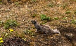 Écureuil américain Photographie stock libre de droits