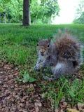 Écureuil amical été perché dans l'herbe Images libres de droits