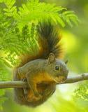 Écureuil amical dans la forêt humide Photos libres de droits
