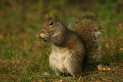 Écureuil appréciant une noix Photo libre de droits