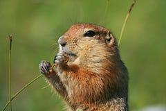 Écureuil arctique de graund Images libres de droits