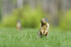 Écureuil au sol Image stock