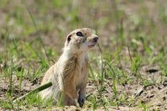 Écureuil au sol Images stock