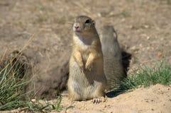 Écureuil au sol Photographie stock