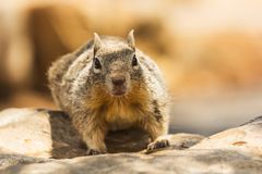 Écureuil au sol Image libre de droits