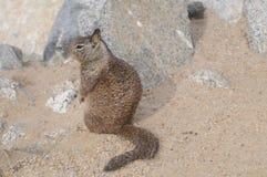 Écureuil au sol Images libres de droits