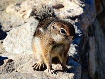 Écureuil au sol Photos stock