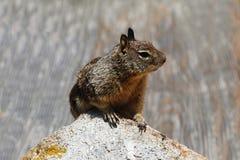 Écureuil au sol Photos libres de droits