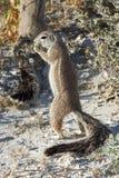 Écureuil au sol africain Photographie stock