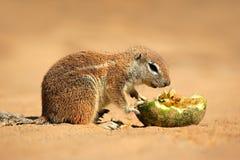 Écureuil au sol alimentant Photo libre de droits