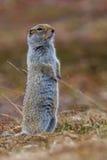 écureuil au sol arctique Images libres de droits