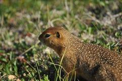 écureuil au sol artic Image libre de droits