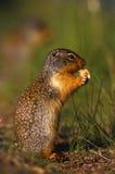 Écureuil au sol colombien Image libre de droits
