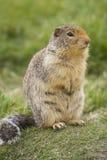 Écureuil au sol colombien avec l'arrière buschy image stock