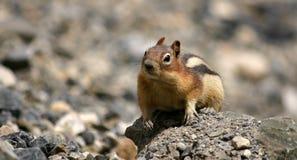 Écureuil au sol curieux Images stock