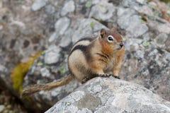 écureuil au sol D'or-enveloppé Image stock