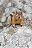 écureuil au sol D'or-enveloppé Images libres de droits
