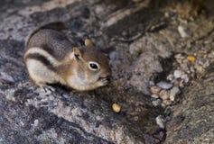 Écureuil au sol D'or-Enveloppé Images stock