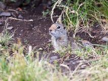 Écureuil au sol d'Uinta Images libres de droits
