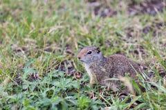 Écureuil au sol d'Uinta Image libre de droits