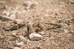 Écureuil au sol de cap Images stock