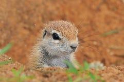 Écureuil au sol de cap Photos stock