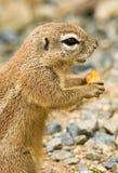 écureuil au sol de cap Photos libres de droits