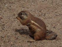 Écureuil au sol de cap (inauris de Xerus) photo stock