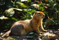 Écureuil au sol de Colombie Photos libres de droits
