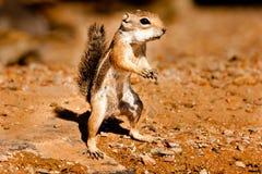 Écureuil au sol de l'antilope de Harris Photo stock
