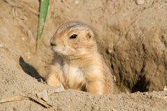 Écureuil au sol de sentinelle Image libre de droits