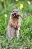 Écureuil au sol drôle Image libre de droits