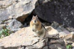 Écureuil au sol enveloppé d'or Images stock