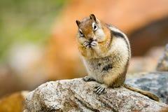 Écureuil au sol enveloppé d'or Photo libre de droits