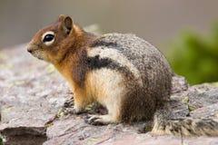 Écureuil au sol enveloppé d'or Image stock
