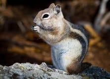 Écureuil au sol enveloppé d'or Photographie stock libre de droits