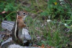 Écureuil au sol enveloppé d'or Image libre de droits