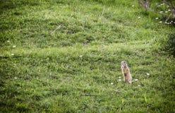 Écureuil au sol européen Photo libre de droits