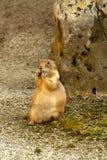 Écureuil au sol européen Photographie stock libre de droits