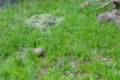 Écureuil au sol européen Image stock