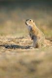 Écureuil au sol européen Photos stock