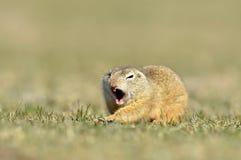 Écureuil au sol européen (citellus de Spermophilus) photo libre de droits